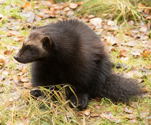 baby wolverine 2